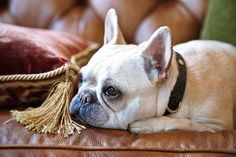 Old-World Style in a Farmhouse - Traditional Home®  French bulldog Tulipe rules.