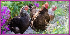 Healthy hens need grit and oyster shell. Find out why here.