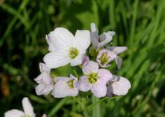 """Lady Smocks (Cardamine pratensis)  """"And lady-smocks all silver white And cuckoo buds of yellow hue Do paint the meadows with delight."""" - Love's Labour's Loss, Act V, Scene II"""