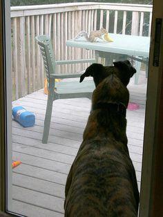 Greyhound watching squirrel with banana.  Squirrels eat bananas..
