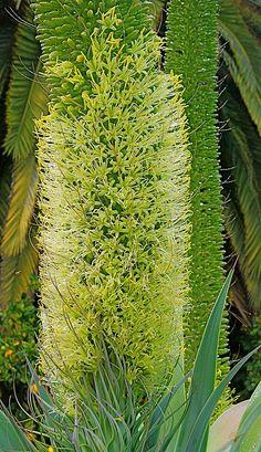 Agave Bloom in front of Alluaudia procera by plantmanbuckner, via Flickr