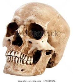 Side view of human skull by Eric Jennings, via Shutterstock