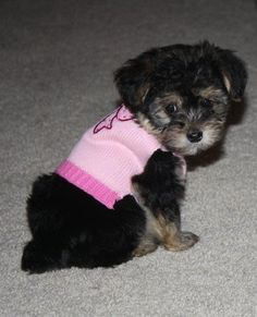 cute morkies morkie poos and yorhies | my cute little yorkie poo repinned from cute animals by theresa ...