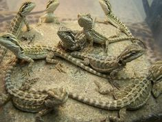 A Assortment Of Baby Bearded Dragons