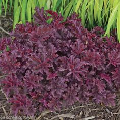 "Heuchera 'Melting Fire' Coral Bells 'Melting Fire' features deep maroon leaves with heavy ruffling. New foliage appears red - very dramatic! Flowers bloom on 18"" tall stems, well above the compact mound of foliage. Wonderful color with interesting texture. It has been described as ""dazzling"". We agree. SUN EXPOSURE: Full sun to shade. SIZE: 9"" tall x 12"" wide upon maturity."