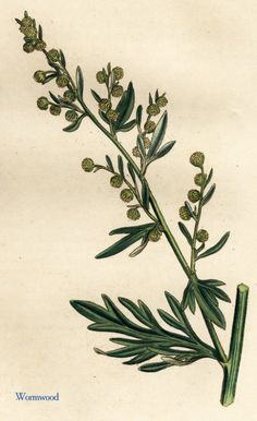 Did you know wormwood supports body cleansing? Herbs Illustration, Botanical Illustration, Botanical Prints, Botanical Drawings, Botanical Flowers, Detox Herbs, Absinthe, Architecture Art Design, Nature Journal