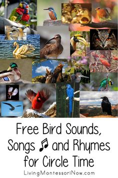 Free bird sound videos along with bird song videos and bird songs and fingerplays with lyrics; perfect for identifying bird sounds; bird songs and rhymes for circle time for classroom or homeschool - Living Montessori Now Preschool Fingerplays, Preschool Themes, Preschool Kindergarten, Preschool Science, Montessori Materials, Montessori Activities, Montessori Theory, Montessori Homeschool, Enrichment Activities
