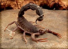 Southern African Spitting Scorpion (Parabuthus transvaalicus), also known as Transvaal Thick-tailed Scorpion), a species of venomous scorpion found in arid parts of southern Africa Reptiles, Amphibians, Poisonous Animals, Spiders And Snakes, Fotografia Macro, A Bug's Life, Bugs And Insects, Mundo Animal, African Animals
