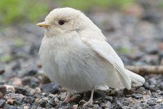 White Sparrow.