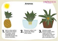 Visste du att du kan odla egen ananas och lök hemma av skrutten som blir över? Faktum är att allt som har sina rötter kvar går att plantera och senare även skörda igen. Fungerar även för dig... Dream Garden, Home And Garden, Plants Are Friends, Green Day, Growing Plants, Permaculture, Diy For Kids, Good To Know, Plant Based