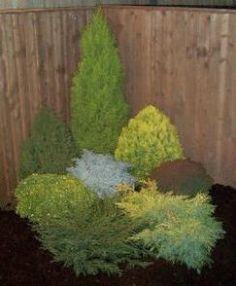 1000 images about dwarf conifers on pinterest blue for Small slow growing evergreen trees