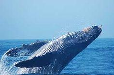 humpback whale fun facts - Google Search