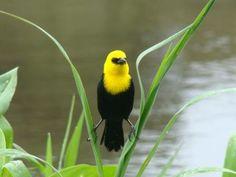 Iratatuá-pequeno , Fauna Brasileira