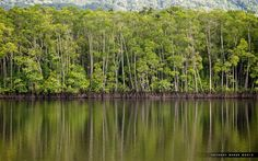 Daintree Rainforest (Australia). 'Fan palms, ferns and mangroves are just some of the 3000-plus plant species in the ancient, World Heritage–listed Daintree Rainforest , which is alive with a chorus of birds, insects and frogs.' http://www.lonelyplanet.com/australia/sights/canyon/daintree-rainforest