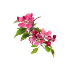 Jabłoń Rajska - Malus Purpurea