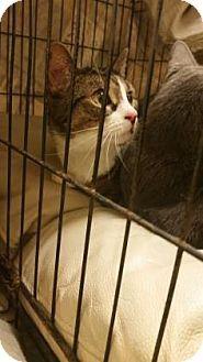 Philadelphia, PA - Domestic Shorthair. Meet Michelle, a cat for adoption. http://www.adoptapet.com/pet/18532106-philadelphia-pennsylvania-cat