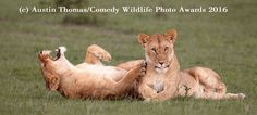 2016 Finalists :: Comedy Wildlife Photography Awards - Conservation through Competition
