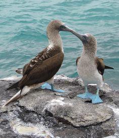 Beautiful blue footed boobies #Galapagos #Ecuador