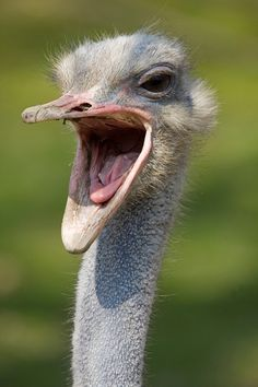 Upvotes for Sweet Dee? Mods are asleep. Funny Animal Faces, Animal Heads, Funny Animals, Cute Animals, Funny Faces, Bird Pictures, Animal Pictures, Ostrich Funny, Ostrich Head