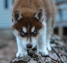 Buy or sell siberian husky puppies online at…
