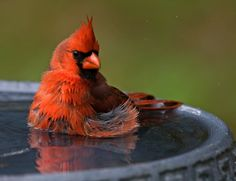 Northern Cardinal by Robert Strickland,,birds need to bath to keep their feathers clean to help them stay warm! Kinds Of Birds, All Birds, Love Birds, Pretty Birds, Beautiful Birds, State Birds, Cardinal Birds, Backyard Birds, Bird Pictures