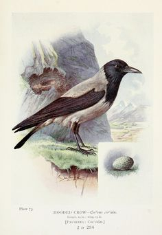 Hooded Crow - From  Britain's Birds and their Nests, illustrated by George Rankin
