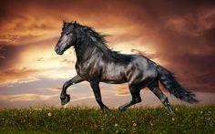 Horses black shiny