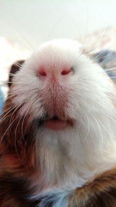 Мордашка guinea pig