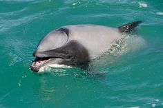 What to do when your blowhole is blocked? A dolphin has learned to breathe…