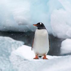 Gentoo penguin on Cuverville Island Antarctica #GentooPenguin #CuvervilleIsland #CuvervilleIslandAntarctica #Antarctica #HeathrowGatwickCars.com   heathrowgatwickcars.com via Instagram http://ift.tt/2j0PpFR