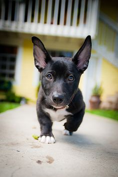"""""""My new puppy Shorty. He's a black lab corgi mix if you can believe it. Thanks for all the comments and explore!"""" - Hans Halgren - A Corgidor! Love My Dog, Cute Puppies, Cute Dogs, Dogs And Puppies, Baby Animals, Funny Animals, Cute Animals, Pitbull, Corgi Mix"""