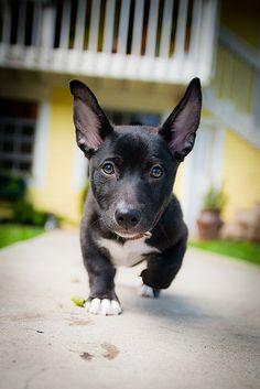 Shorty, the black lab/corgi mix! What a cutie!!