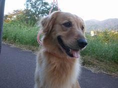 菰野町大羽根園地区 ころちゃん 4歳  平成24年9月27日 早朝散歩で出会ったワンちゃん。