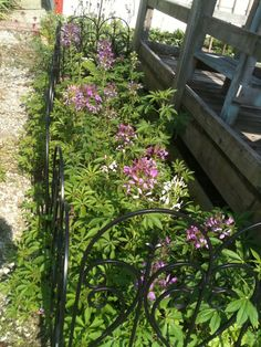 The 2014 Cleome are late in blooming this year but have finally started to grow.  They're definetly shorter than last year but I still love them!