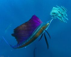 """""""With its sail raised, changeable colors gleaming and flashing, a sailfish attacks a school of sardines off the coast of Mexico"""" (photo by Paul Nicklen)"""