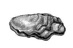 oyster illustration