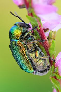 Fall beetle on Heather by johnhallmen, via Flickr - beautiful colors
