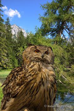 Eurasian Eagle-Owl   (Bubo bubo) - Uhu Hibou grand-duc - Búho real - Bufo-real - Gufo reale The Eurasian eagle-owl is the largest owl. wingspan 160–200 cm (63–79 in) SKREINER.COM