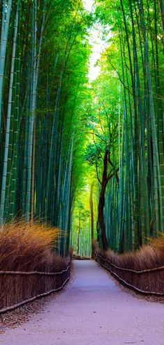 Famous Bamboo Forest at Arashiyama Mountain in Kyoto, Japan