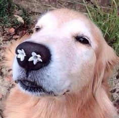 // enjoy this picture of a dog with flowers in its nose ❁ //