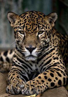 Jaguar en voie de disparition préservé au refuge de la vie sauvage de Managua (Nicaragua).