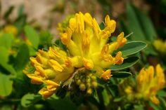 Alpine Kidney Vetch ( anthyllis vulneraria )