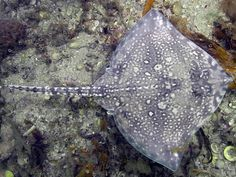 A thornback skate blends in with seafloor shells and rocks off the coast of Cornwall, England. Rays, sharks, and some other aquatic animals are able to use electroreception because in water, which is laden with charged sodium and chlorine ions, even the relatively weak electrical fields generated by animals can create a current. The air simply doesn't conduct electricity well enough for terrestrial animals to produce a current that can be observed by biological electroreceptors.