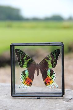 Urania ripheus in glazen box Terrarium, Butterflies, Insects, Box, Nature, Home Decor, Terrariums, Snare Drum, Naturaleza