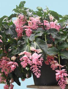 Medinilla magnifica or malaysian orchid