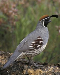 Gambel's Quail. My first ones were at Joshua Tree National Park near dusk 8/13/16! They walk so funny, the male's crest bobbing and flailing all over the place. One of my favorite bird sightings. I was chasing them all over the desert trying to get closer. Many more were at Salton Sea.