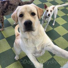 Barkley the Yellow Labrador! #dogoftheday #doggydaydream #doggydaycare #dog #dogs #dogsofinstagram #dogstagram #instadog  #labrador