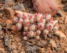 Antimima pygmaea