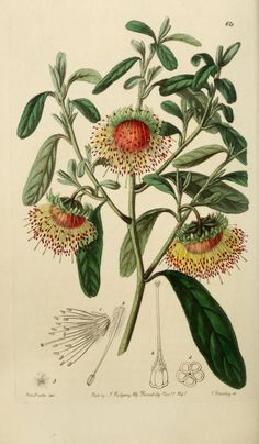 Published 1829 - Edwards' botanical register, or, Ornamental flower-garden and shrubbery ..   by Edwards, Sydenham + Lindley, John