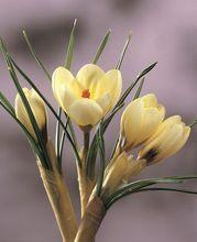 Crocus - Flowerbulbsgarden